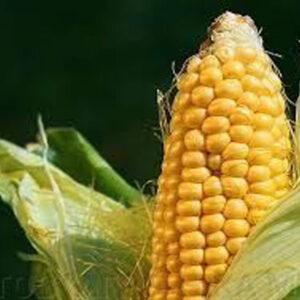 Семена кукурузы СИ Фортаго