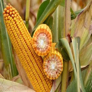 [:ru]Семена кукурузы СИ Фотон [:ua]Насіння кукурудзи СИ Фотон [:]
