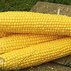 [:ru]Семена кукурузы Фурио[:ua]Насіння кукурудзи Фуріо[:]