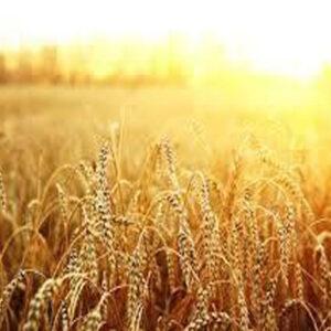 [:ru]Семена озимого ячменя Галатион[:ua]Насіння озимого ячменю Галатіон[:]
