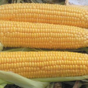 Семена кукурузы ЕС Геллери