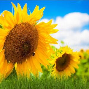 [:ru]Семена подсолнечника Гольфстрим[:ua]Насіння соняшнику Гольфстрім[:]