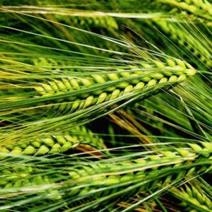 Семена озимого ячменя Хайди