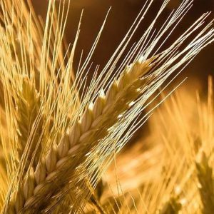[:ru]Семена озимого ячменя Ханнелоре[:ua]Насіння озимого ячменю Ханнелоре [:]