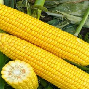 [:ru]Семена кукурузы СИ Иридиум[:ua]Насіння кукурудзи СИ Ірідіум [:]