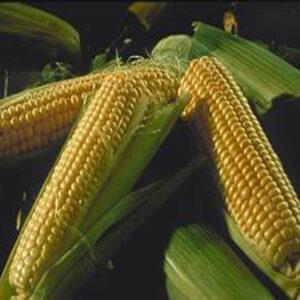 [:ru]Семена кукурузы Катари [:ua]Насіння кукурудзи Катарі[:]
