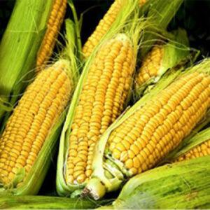 [:ru]Семена кукурузы НК Кобальт[:ua]Насіння кукурудзи НК Кобальт [:]