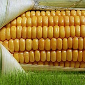 Семена кукурузы Кристель