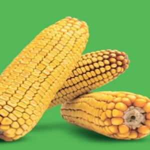 Семена кукурузы КС Луиджи