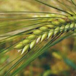 Семена озимой пшеницы Лукуллус