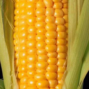 [:ru]Семена кукурузы ЕС Милорд[:ua]Насіння кукурудзи ЄС Мілорд [:]