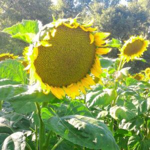 Семена подсолнечника Мишель