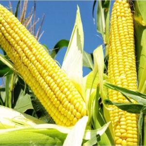 [:ru]Семена кукурузы НК Нерисса[:ua]Насіння кукурудзи НК Неріса [:]