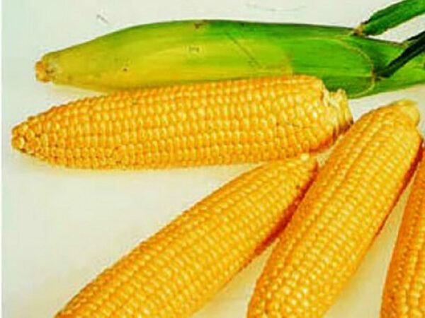 Семена кукурузы СИ Аладиум