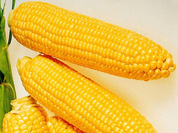 Семена кукурузы ЕС Олимпус