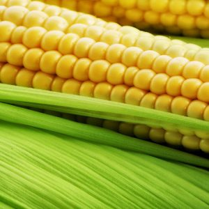 [:ru]Семена кукурузы СИ Ондина [:ua]Насіння кукурудзи СИ Ондіна [:]
