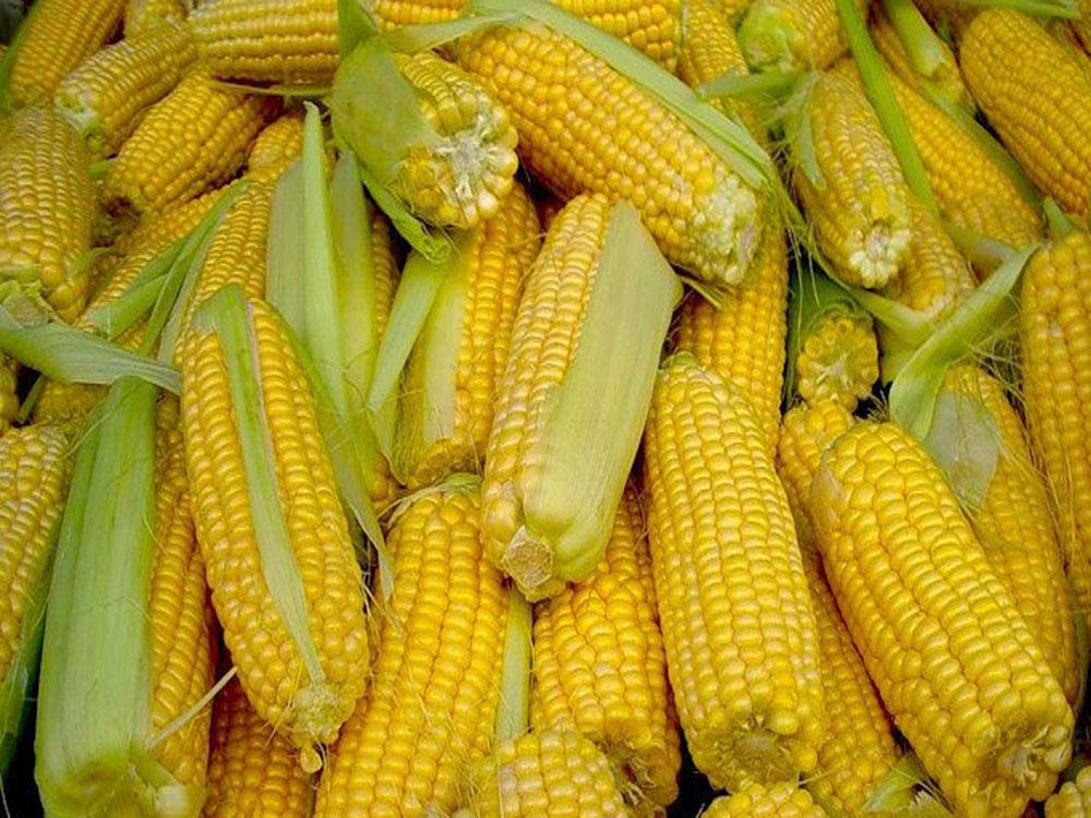 Картинки семян кукурузы
