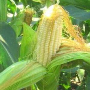 [:ru]Семена кукурузы P8529[:ua]Насіння кукурудзи P8529[:]