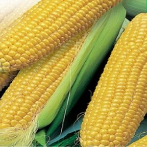[:ru]Семена кукурузы НК Пако[:ua]Насіння кукурудзи НК Пако [:]