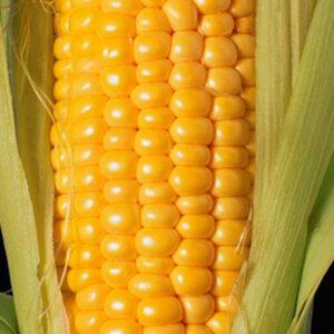 [:ru]Семена кукурузы Портайл[:ua]Насіння кукурудзи Портайл[:]