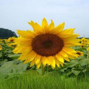 [:ru]Семена подсолнечника Санбро МР [:ua]Насіння соняшника  Санбро МР [:]