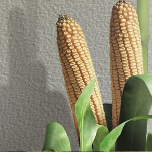 [:ru]Семена кукурузы Селест[:ua]Насіння кукурудзи Селест[:]
