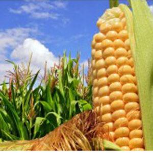 [:ru]Семена кукурузы Шобби[:ua]Насіння кукурудзи Шоббі [:]