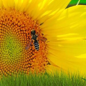 [:ru]Семена подсолнечника Солтан[:ua]Насіння соняшнику  Солтан [:]