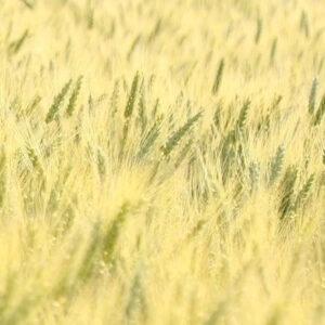 Семена озимой пшеницы Тацитус