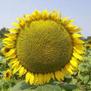 Семена подсолнечника Тео