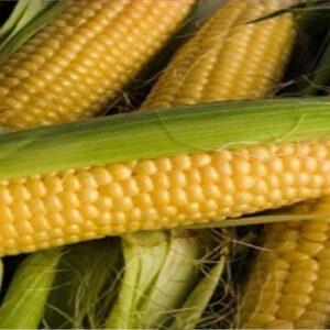 [:ru]Семена кукурузы НК Термо [:ua]Насіння кукурудзи НК Термо [:]