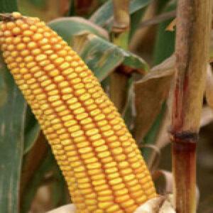 Семена кукурузы КС Тессали