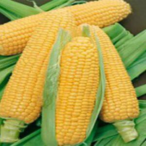 Семена кукурузы КС Трилоджи
