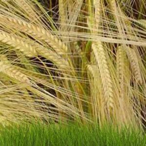 Семена ярого ячменя Вакула