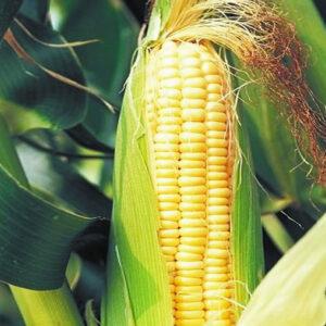 [:ru]Семена кукурузы СИ Вералия[:ua]Насіння кукурудзи СИ Вералія [:]