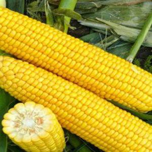 [:ru]Семена кукурузы СИ Зефир [:ua]Насіння кукурудзи СИ Зефір [:]