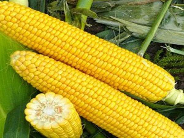 Семена кукурузы СИ Зефир