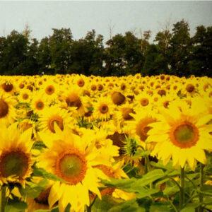 [:ru]Семена подсолнечника 8Н270КЛДМ[:ua]Насіння соняшника 8Н270КЛДМ[:]