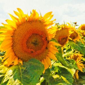 [:ru]Семена подсолнечника 8Н358КЛДМ[:ua]Насіння соняшника 8Н358КЛДМ[:]