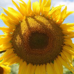 [:ru]Семена подсолнечника 9180ДМР[:ua]Насіння соняшника 9180ДМР[:]