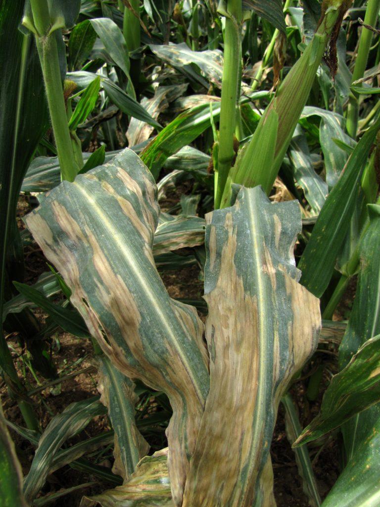 Антракноз кукурузы
