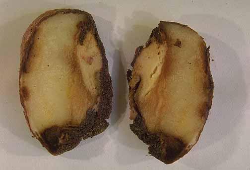 Черная ножка (мягкая гниль) картофеля