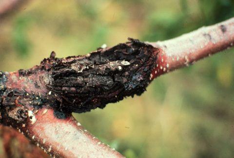 Цитоспороз (усыхание) косточковых культур