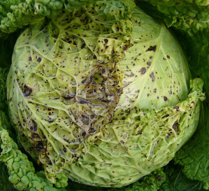 Фомоз или сухая гниль капусты