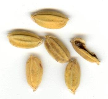 Фузариоз риса