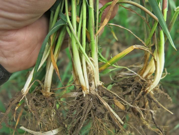 Фузариозные корневые гнили зерновых