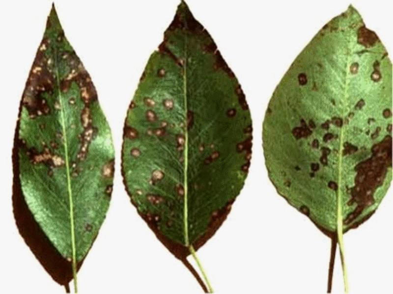Белая пятнистость листьев груши