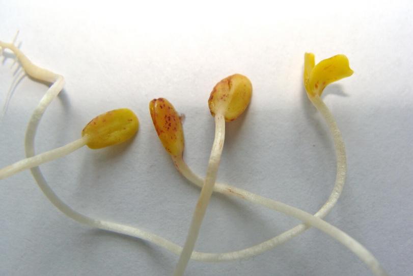 Крапчатость семядолей льна