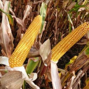 [:ru]Семена кукурузы MAS 18.Т[:ua]Насіння кукурудзи MAS 18.Т [:]