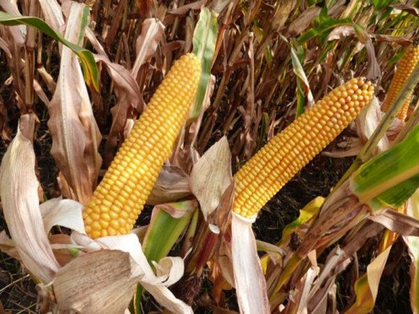 Семена кукурузы MAS 18.Т